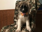 Akita Puppy For Sale in PEACH BOTTOM, PA, USA