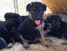 German Shepherd Dog Puppy For Sale in CLOVER, South Carolina,