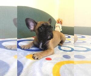 French Bulldog Puppy for Sale in BAY VIEW, Wisconsin USA
