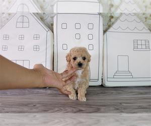 Maltipoo Puppy for sale in FULLERTON, CA, USA