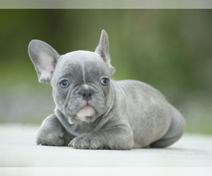 View Ad: French Bulldog Puppy for Sale near Florida, LOX