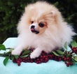 Pomeranian Puppy For Sale in MELROSE, MA,