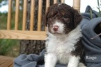 Aussiedoodle Puppy For Sale in CATHOLIC POINT, AR, USA