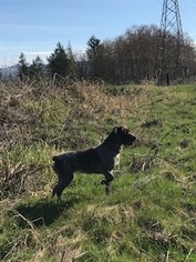 Medium Wirehaired Pointing Griffon
