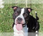 Small #36 American Pit Bull Terrier-American Staffordshire Terrier Mix
