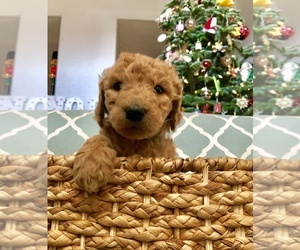 Labradoodle Puppy for Sale in ELK GROVE, California USA