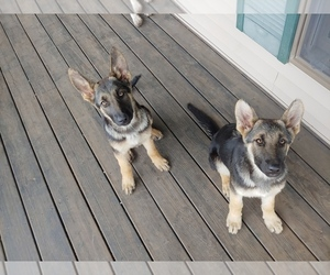 German Shepherd Dog Puppy for sale in FLEMINGTON, MO, USA