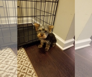 Yorkshire Terrier Puppy for sale in CUMMING, GA, USA