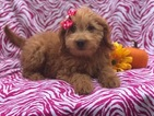 Goldendoodle (Miniature) Puppy For Sale in CEDAR LANE, PA, USA