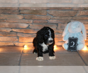Sheepadoodle Puppy for Sale in STANLEY, Virginia USA