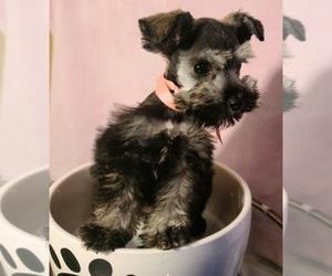 Schnauzer (Miniature) Dog for Adoption in LOS ANGELES, California USA