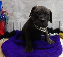 Bullmastiff Puppy For Sale in CHICAGO, IL