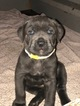 Cane Corso Puppy For Sale in EASTAMPTN TWP, NJ, USA