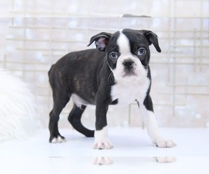 Boston Terrier Puppy for sale in MARIETTA, GA, USA