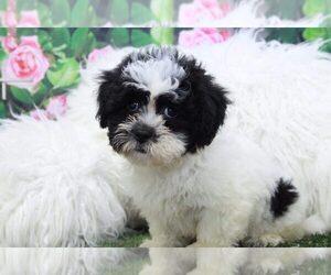 Shih-Poo Puppy for sale in MARIETTA, GA, USA