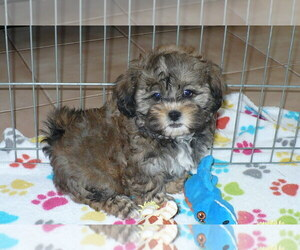 Shih-Poo Puppy for sale in ORO VALLEY, AZ, USA