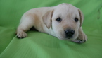 Labrador Retriever Puppy For Sale in KENSINGTON, OH, USA