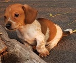 Small Photo #2 Dachshund Puppy For Sale in CEDAR RAPIDS, IA, USA