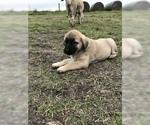 Puppy 7 Anatolian Shepherd