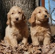 Small #4 Golden Retriever-Poodle (Toy) Mix