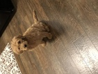 Goldendoodle (Miniature) Puppy For Sale in GALLUP, NM, USA
