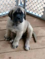 Mastiff Puppy for sale in OREGON HOUSE, CA, USA
