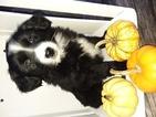 Sheprador Puppy For Sale in SUGARCREEK, OH