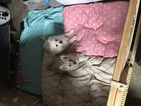 Pomeranian Puppy For Sale in FREMONT, CA, USA