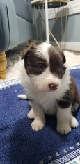 Border Collie Puppy For Sale near 61201, Rock Island, IL, USA