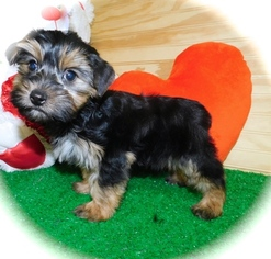 Shorkie Tzu Puppy For Sale in HAMMOND, IN, USA