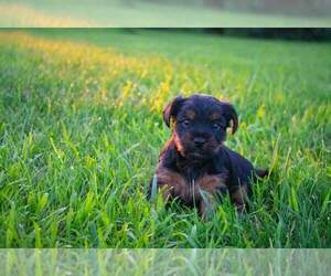 Yorkshire Terrier Puppy for sale in PRINCETON, MN, USA