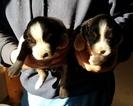Miniature Australian Shepherd Puppy For Sale in ARTHUR, IL, USA