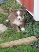 Miniature Australian Shepherd Puppy For Sale in FORT SCOTT, KS, USA