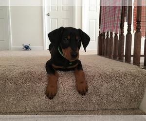 Doberman Pinscher Puppy for sale in HOFFMAN EST, IL, USA
