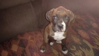 Boxer Puppy for sale in NEW CASTLE, IN, USA