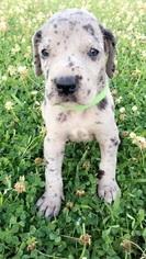 Great Dane Puppy For Sale in DENHAM SPRINGS, LA