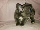 French Bulldog Puppy For Sale in BRKN ARW, OK, USA