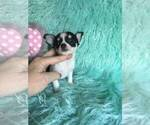 Teacup Applehead  chihuahua dollface
