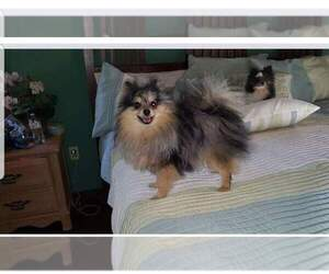 Father of the Pomeranian puppies born on 09/05/2020