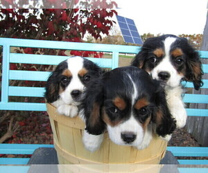Cavalier King Charles Spaniel Puppy for sale in MISHAWAKA, IN, USA