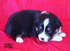 Pembroke Welsh Corgi Puppy For Sale in SOLDIERS GROVE, WI,