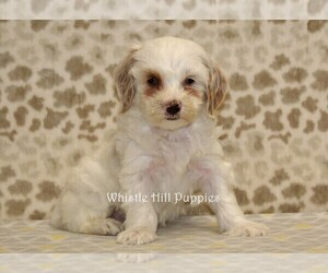 Miniature Bernedoodle Dog for Adoption in DENVER, Pennsylvania USA