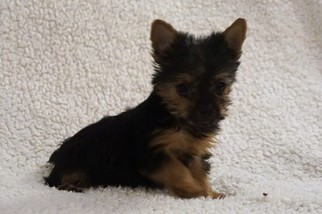 Yorkshire Terrier Puppy For Sale in MILLERSBURG, OH, USA