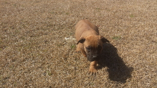 Boerboel Puppy For Sale in PEMBROKE, NC