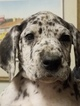 Great Dane Puppy For Sale in CLAYTON, North Carolina,