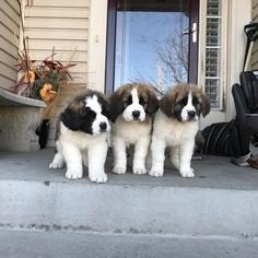 View Ad Saint Bernard Puppy For Sale Colorado Aurora Usa