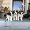 Saint Bernard Puppy For Sale in AURORA, Colorado,