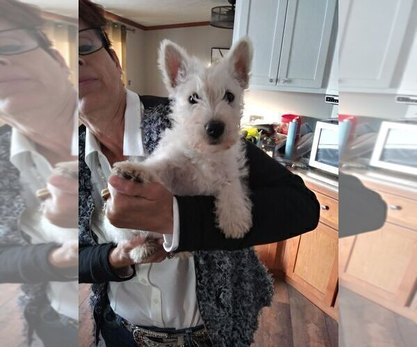 Medium Photo #1 Scottish Terrier Puppy For Sale in WHITEWOOD, SD, USA