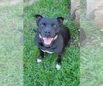 Small #1 Staffordshire Bull Terrier