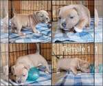 Small #3 American Bully